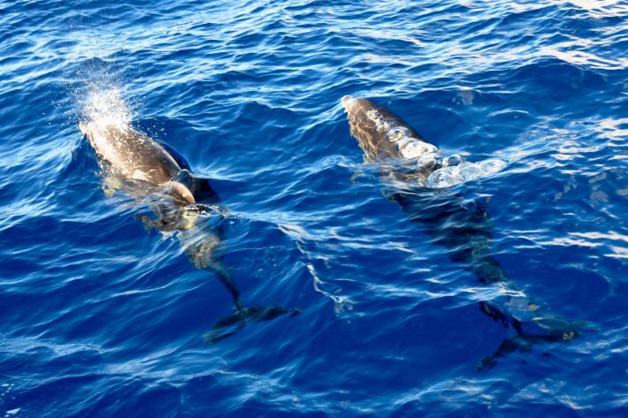 Dolphins in Tenerife, Dace & Gilles photography